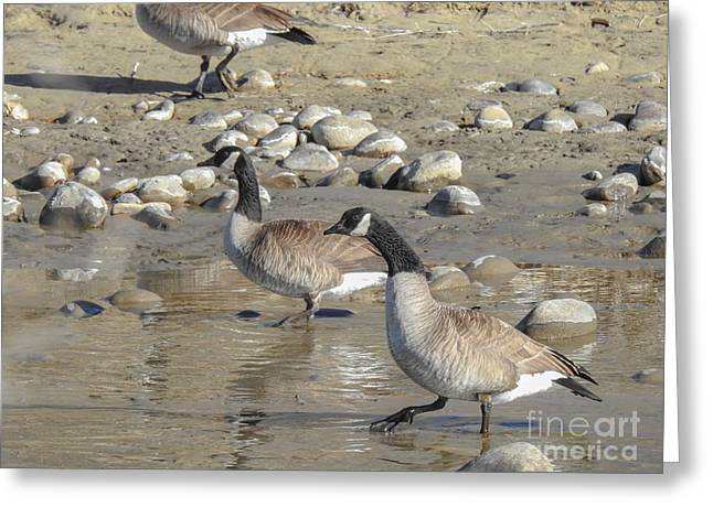Canadian Geese Stepping Out In New Mexico Greeting Card by Brenda Landdeck