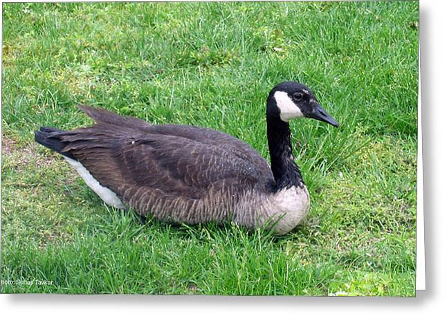 Canadian Geese Greeting Card by Suhas Tavkar