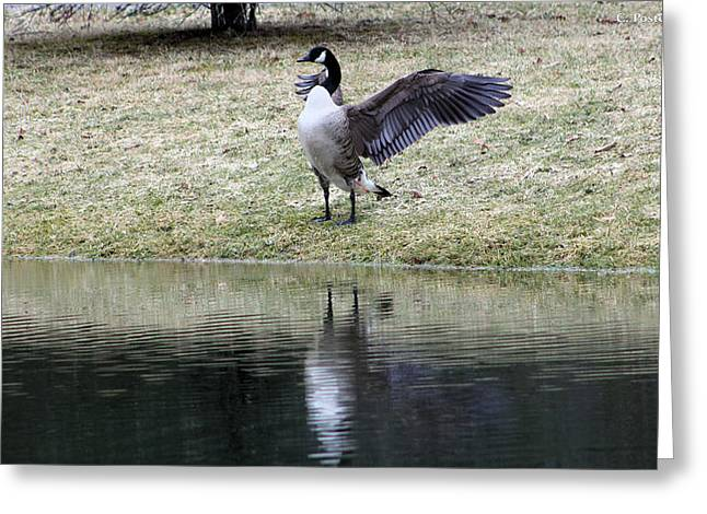 Canadian Goose Greeting Card by Carolyn Postelwait