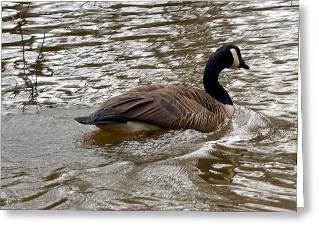 Canadian Goose Greeting Card by Eva Thomas