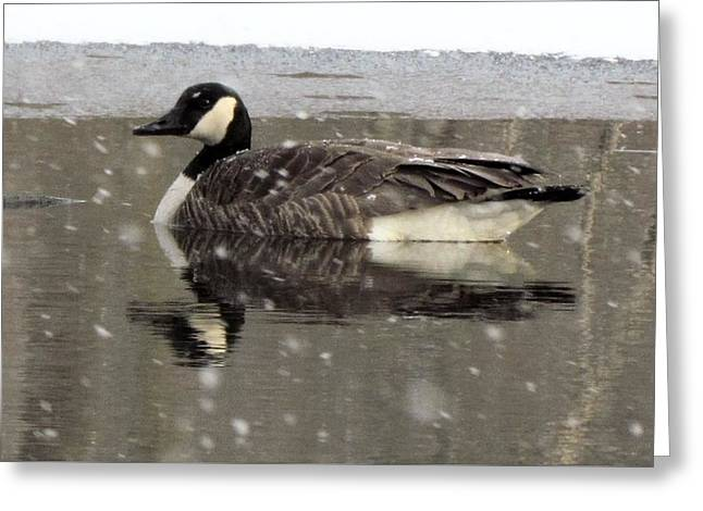 Canadian Goose In Michigan Greeting Card
