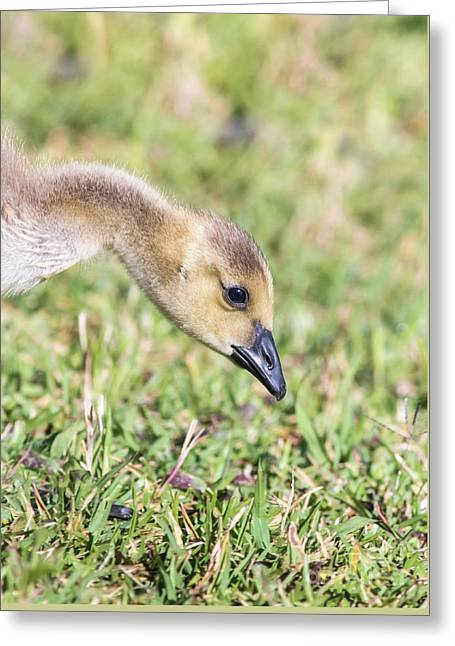 Canadian Gosling Greeting Card by Robert Frederick