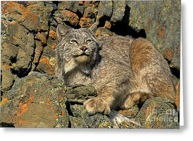 Greeting Card featuring the photograph Canadian Lynx On Lichen-covered Cliff Endangered Species by Dave Welling