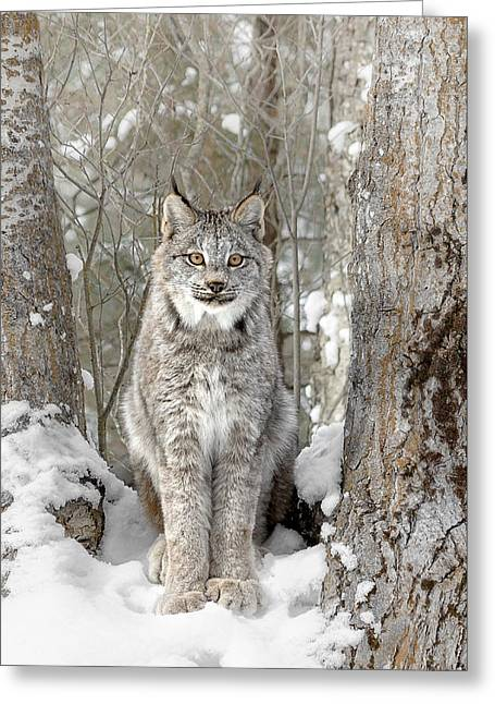 Canadian Wilderness Lynx Greeting Card by Wes and Dotty Weber