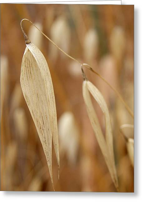Canarian Oat - Closeup Of Dry Avena Canariensis Greeting Card