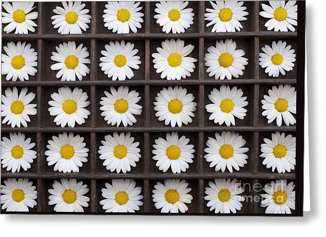 Canary Marguerite Flowers Greeting Card by Tim Gainey