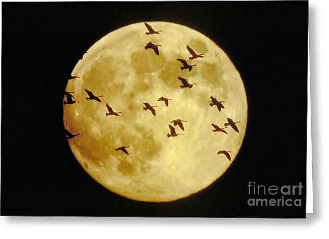 Canda Geese And Moon Greeting Card by Kenneth Fink and Photo Researchers