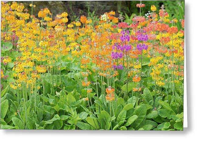 Candelabra Primula Flowers Panoramic Greeting Card