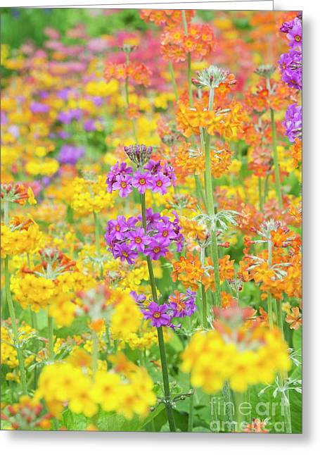 Candelabra Primula Flowers Greeting Card by Tim Gainey