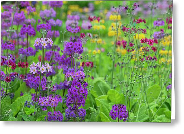 Candelabra Primula Panoramic Greeting Card by Tim Gainey