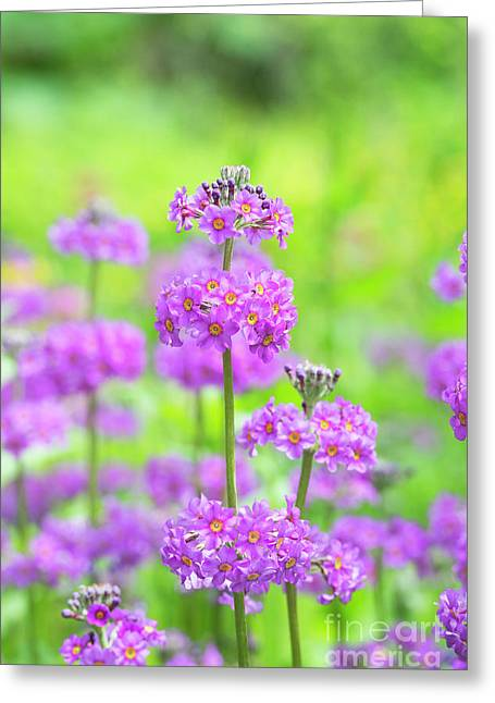 Candelabra Primula Greeting Card