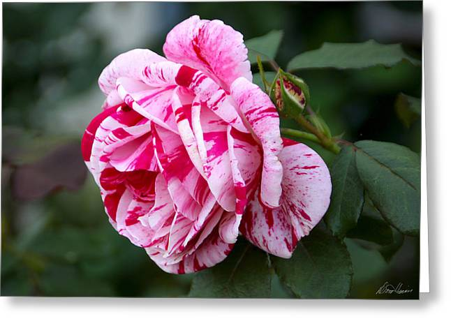 Candy Striped Rose Greeting Card by Diana Haronis