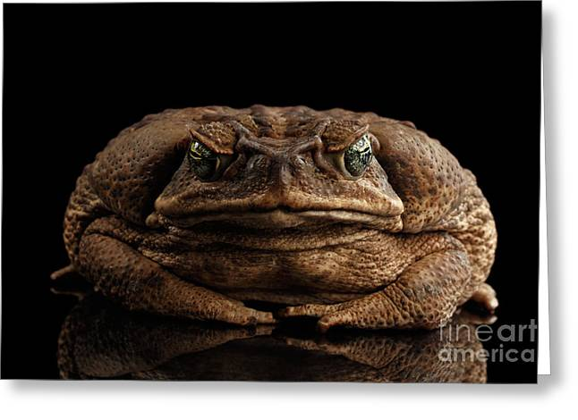 Cane Toad - Bufo Marinus, Giant Neotropical Or Marine Toad Isolated On Black Background, Front View Greeting Card
