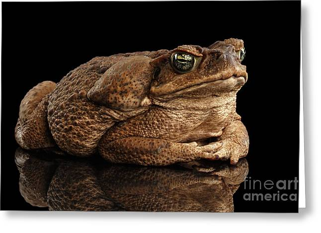 Cane Toad - Bufo Marinus, Giant Neotropical Or Marine Toad Isolated On Black Background Greeting Card