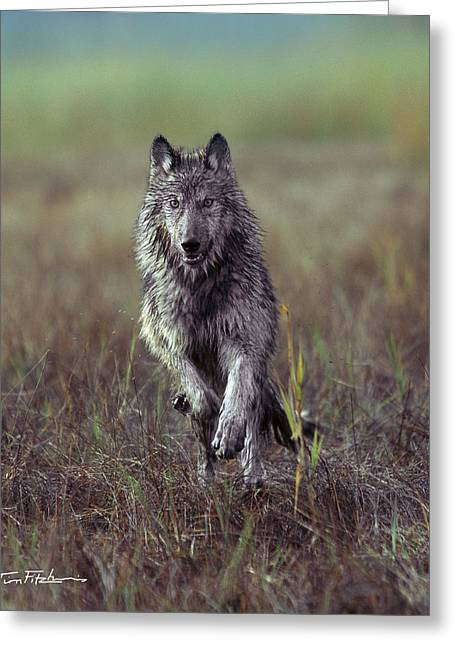 Canis Lupus Greeting Card by Tim Fitzharris