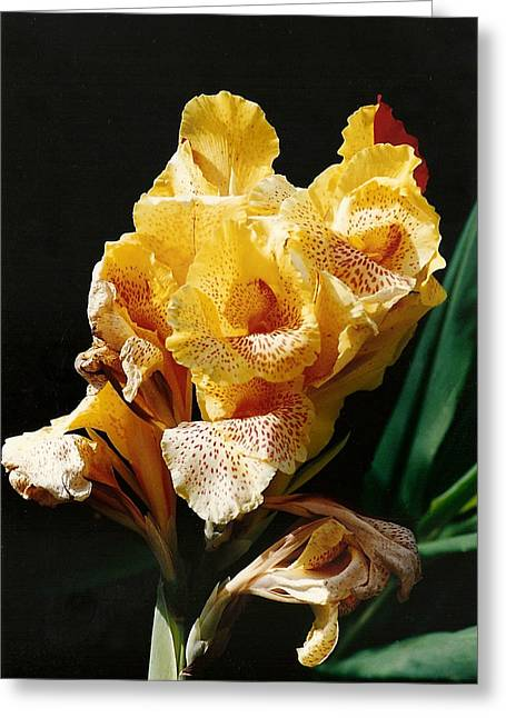 Canna Lily Greeting Card by Marilyn Wilson