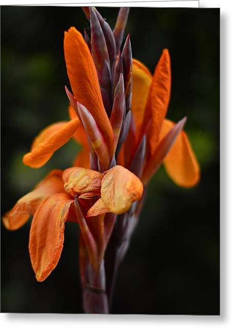 Canna Lily  Greeting Card by Pamela Patch