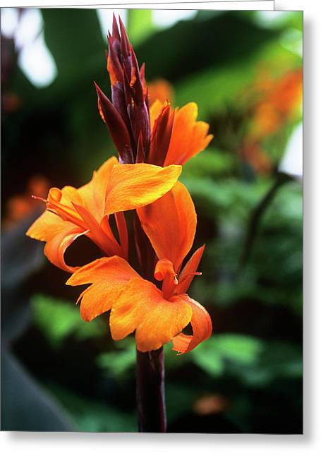 Canna Photographs Greeting Cards - Canna Lily roi Humbert Greeting Card by Adrian Thomas