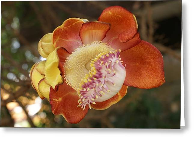 Cannonball Tree Flower Greeting Card