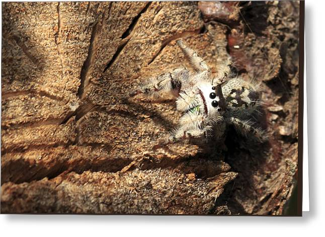Canopy Jumping Spider Greeting Card