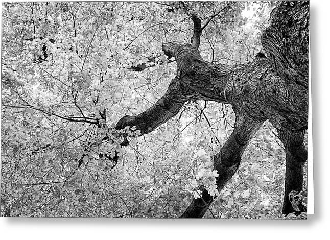 Canopy Of Autumn Leaves In Black And White Greeting Card