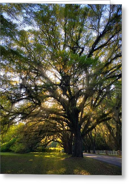 Canopy Road  Greeting Card by Kathryn  Stivers