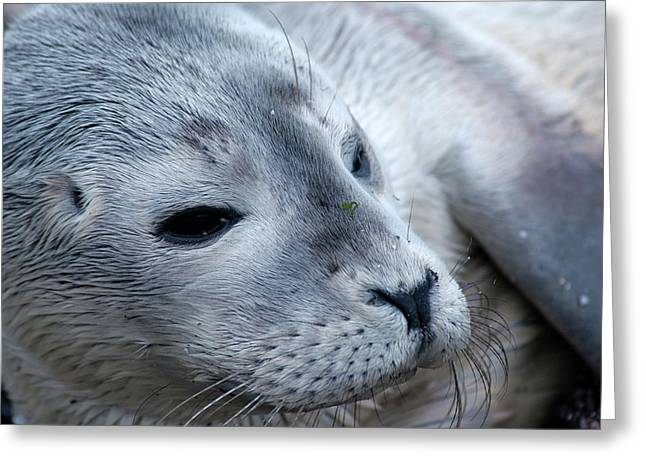 Cape Ann Seal Greeting Card by Mike Martin