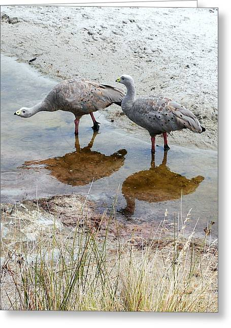 Cape Baron Geese On Maria Island 2 Greeting Card by Lexa Harpell
