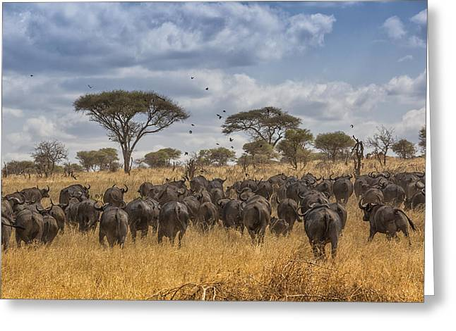Cape Buffalo Herd Greeting Card