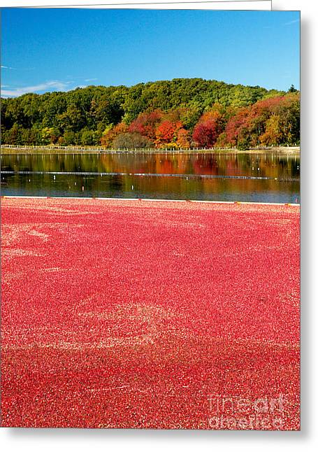 Cape Cod Cranberry Bog Greeting Card by Matt Suess