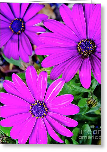 Cape Daisies Purple Osteospermum Garden Flowers In Bloom Greeting Card by Andy Smy