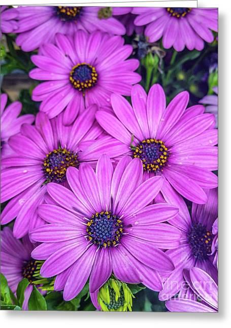 Cape Daisys - Purple Greeting Card