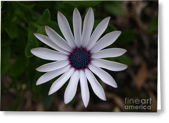 Cape Daisy Greeting Card by Richard Brookes