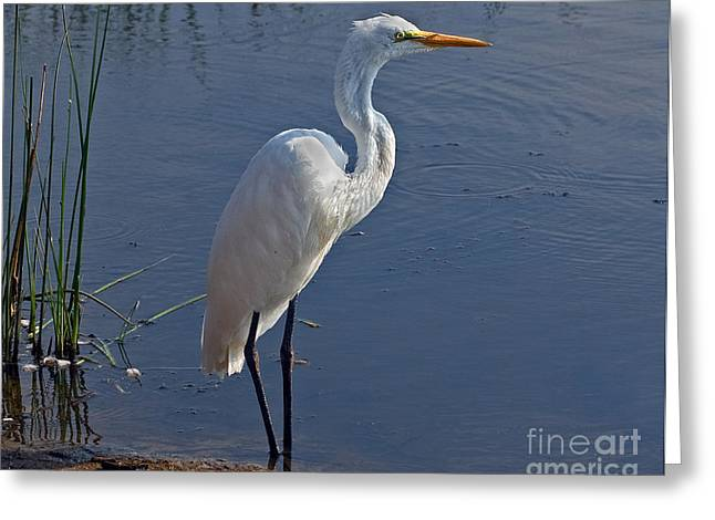 Cape May Egret Greeting Card