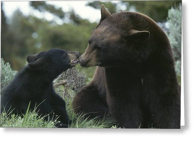 Captive American Black Bear And Cub Greeting Card by Norbert Rosing