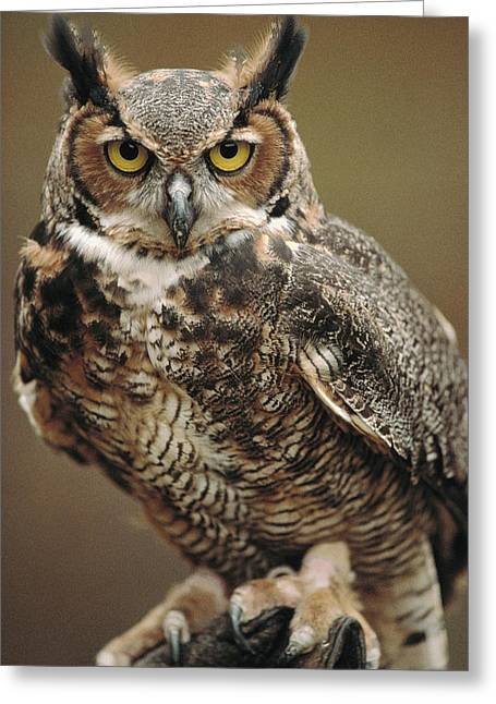 Full Length Photographs Greeting Cards - Captive Great Horned Owl, Bubo Greeting Card by Raymond Gehman