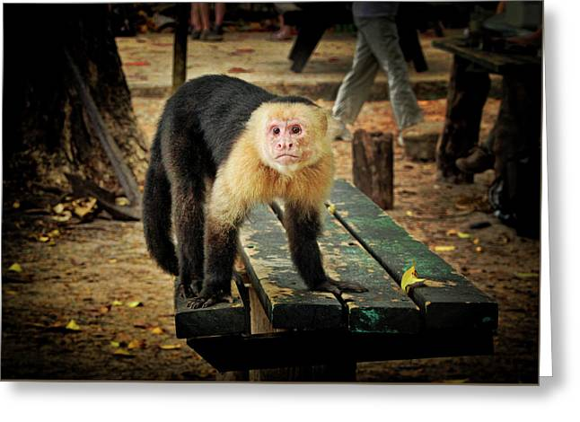 Capuchin Monkey Looking For A Handout Greeting Card