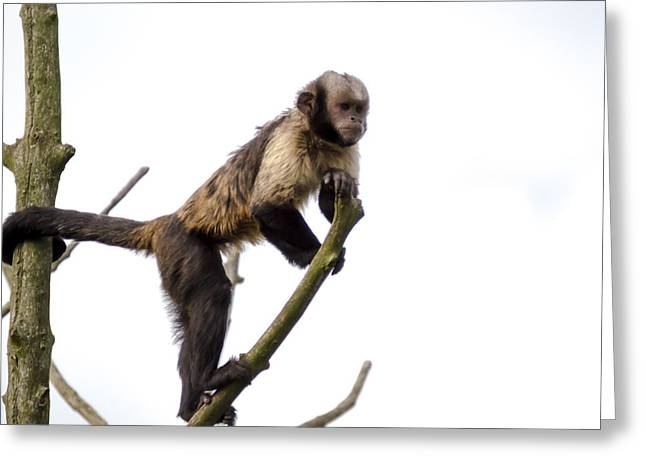 Greeting Card featuring the photograph Capuchin Monkey by Scott Lyons
