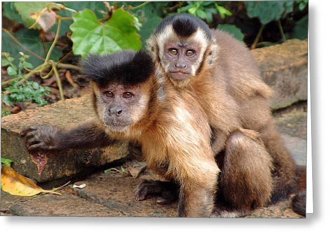 Greeting Card featuring the photograph Capuchin Monkeys by Phil Stone