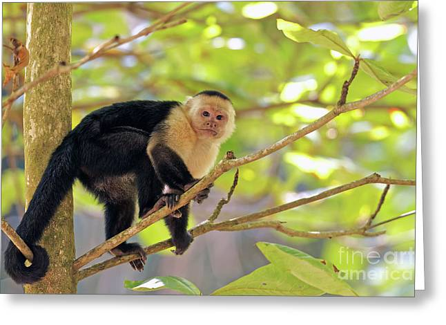 Capuchin Stare Greeting Card