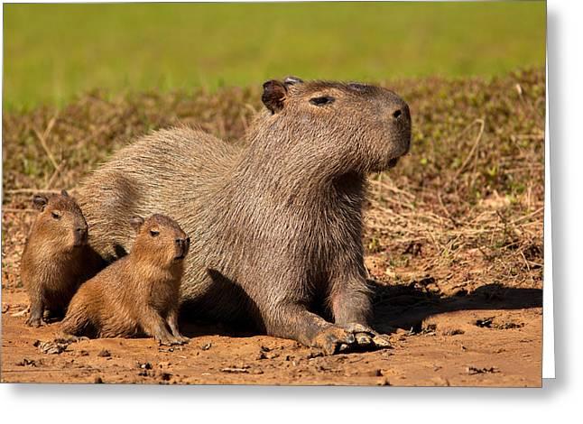 Capybara Family Enjoying Sunset Greeting Card