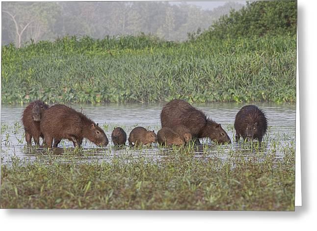 Greeting Card featuring the photograph Capybara by Wade Aiken