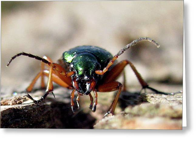 Carabus Auronitens Greeting Card by Jana Goode
