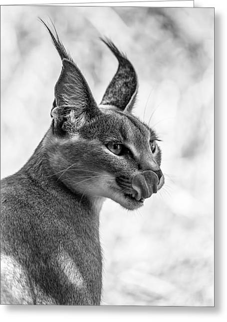 Caracal Licking Its Lips.  Greeting Card by Levana Sietses