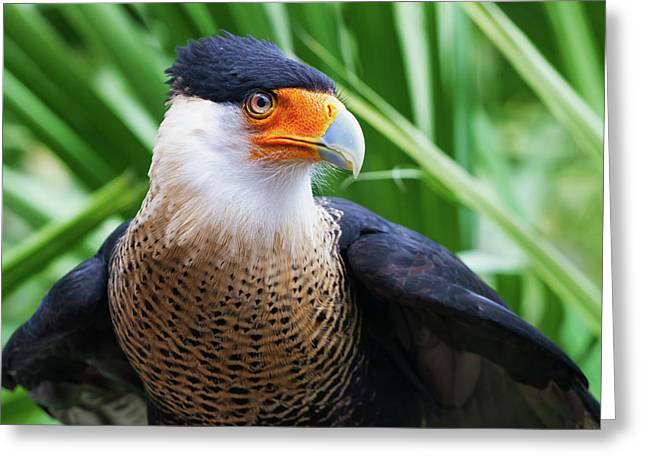 Caracara 1 Greeting Card