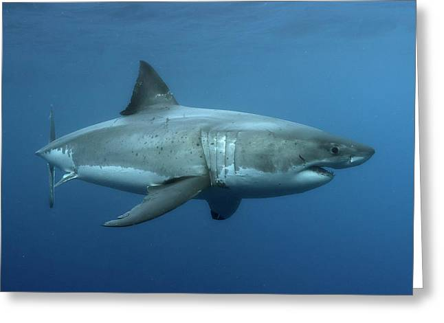 Carcharodon Carcharias...aka The Great White Shark Greeting Card