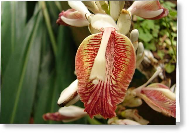 Cardamom Flower Greeting Card by Mallika Rajasekaran