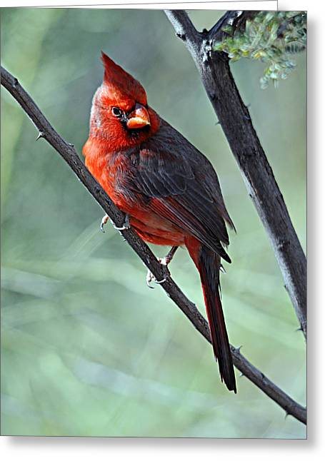 Cardinal 1 Greeting Card