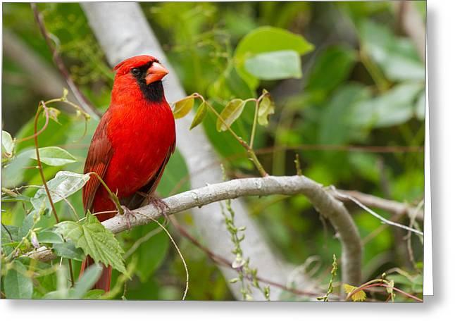 Cardinal 147 Greeting Card