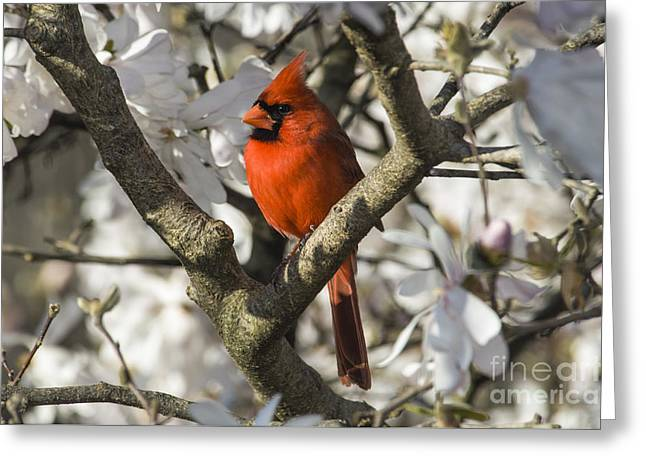 Northern Cardinal And Magnolia 1 - D009892 Greeting Card by Daniel Dempster